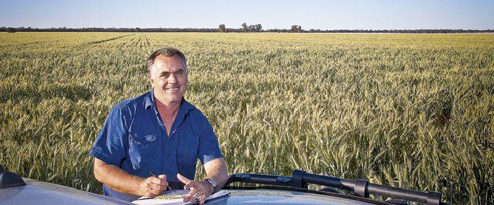 manured wheat crop