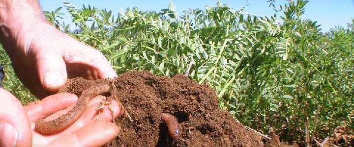 worm in chick pea roots